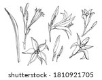 Flowering Yellow Daylilies...