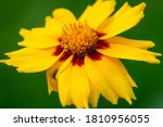Yellow Flower With Yellow Red...