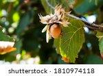 hazelnuts on the tree. autumn...   Shutterstock . vector #1810974118