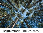 Tall Pine Tress From The Ground ...