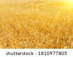 Golden Wheat Field In Summer....