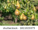 Close Up Of Conference Pears On ...