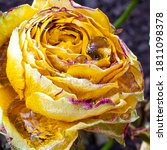 Blooming Yellow Rose Bud With...