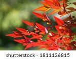 Russet Coloured Leaves On A...