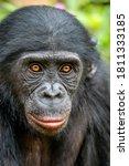 Closeup Portrait Of  Bonobo....