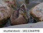 Female Mallard Duck Resting...