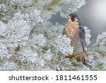 Peregrine Falcon  Bird Of Prey...
