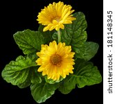 Yellow Gerbera Flowers In...