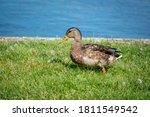 Duck On A Green Grass Near The...