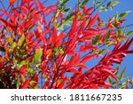 View Of Red And Green Leaves Of ...