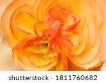 Begonia Flower. Detail Of...