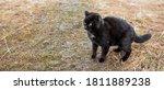 A Black Cat Is Walking Along...