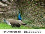 A Pair Of Peafowl  A Female...