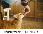 Cute Cuddly Red Cat Being Fed