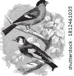 The Bullfinch And The Goldfinch ...