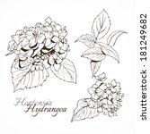 hydrangea  monochrome. two... | Shutterstock .eps vector #181249682