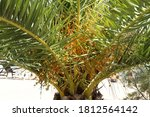 Date Palm Fruits Ripen On The...