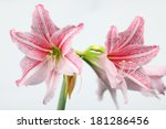 Amaryllis Flower Isolated On...