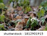 Hoarfrost On Flowers Of Dead...