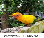 Picture Of Yellow Love Bird Eat ...