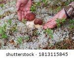 Hands Picking Bolete Mushrooms...