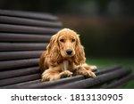 English Cocker Spaniel Puppy...