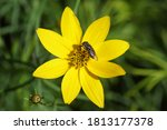 The Fly Stomorhina Lunata ...