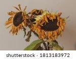 Three Dry Sunflowers In The Vase