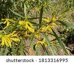 Close Up Of Yellow Australian...
