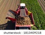 Farmers Harvest Sugar Beet In ...