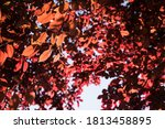 Backlit Red Leaves Against The...