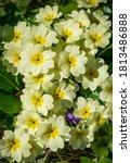 Gentle Spring White Yellow...