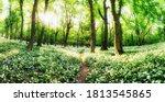White Garlic In Spring Forest...