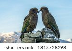 Kea Parrots At French Ridge Hu...