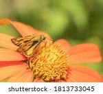Zabulon Skipper Butterfly...