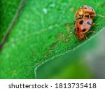 A Pair Of Insects Mating In Th...