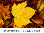 Yellow Autumn Maple Leaf In...