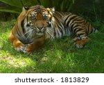 sumatran tigress staring | Shutterstock . vector #1813829