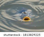 European Common Carp  Cyprinus...
