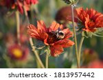 Hairy Footed Flower Bee On Red...