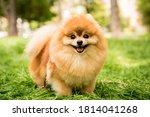 Portrait Of Cute Pomeranian Dog ...