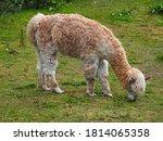 Alpaca Eating Grass In A Farm...