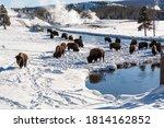 Bison Grazing Near Yellowstone...
