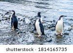 Chinstrap Penguins In Frei...