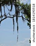 Spanish Moss Hangs Below Tree...