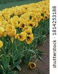 A Farm Field Of Yellow Tulips.