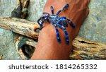 A Beautiful  Docile Tarantula...