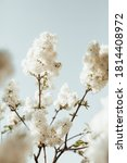 Blooming White Lilac Flowers...