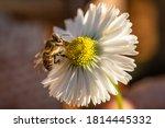 Honey Bee On Daisy Flower Macro