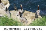 Brown Pelicans With Throat...